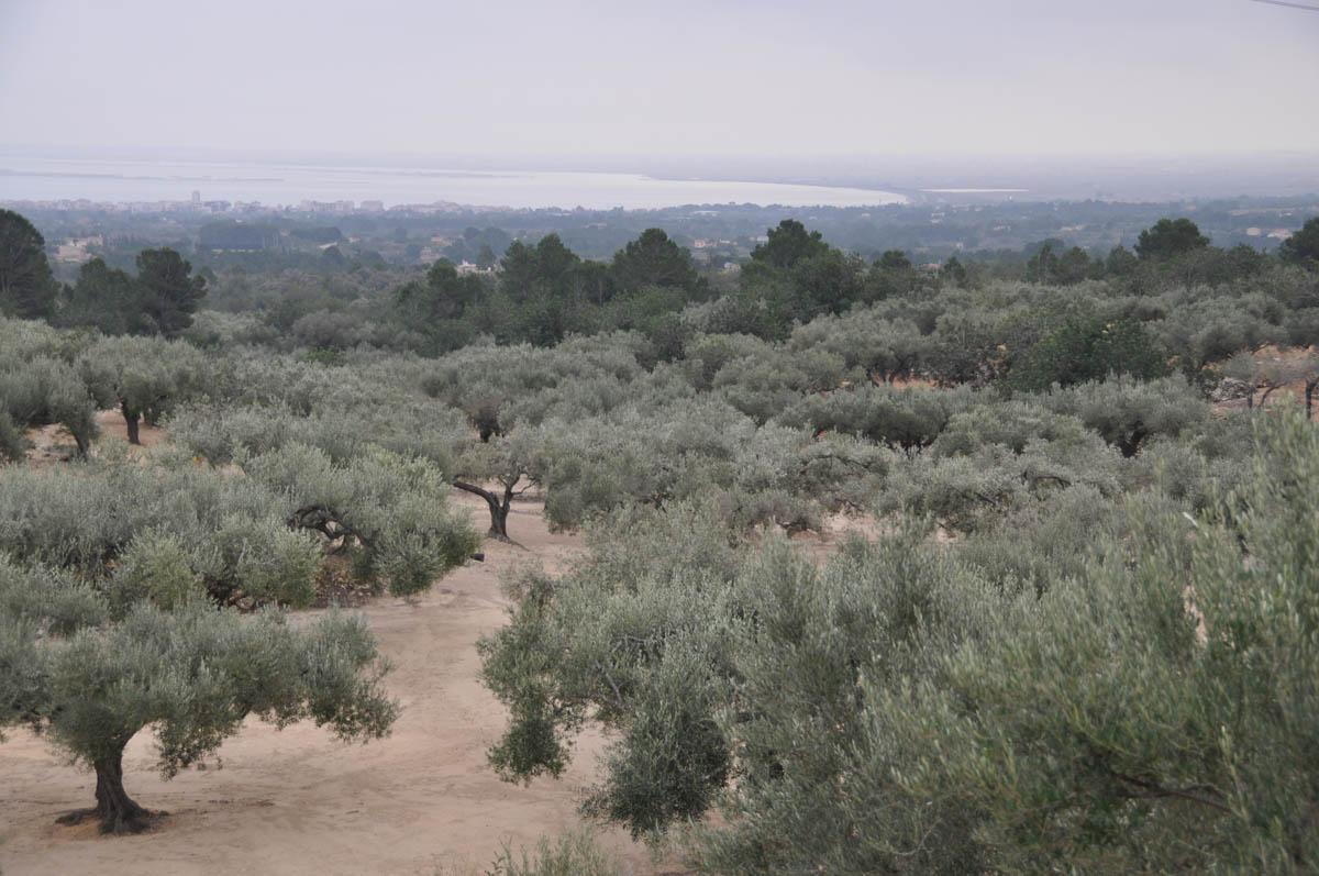 Olivenanlage mit alten Bäumen