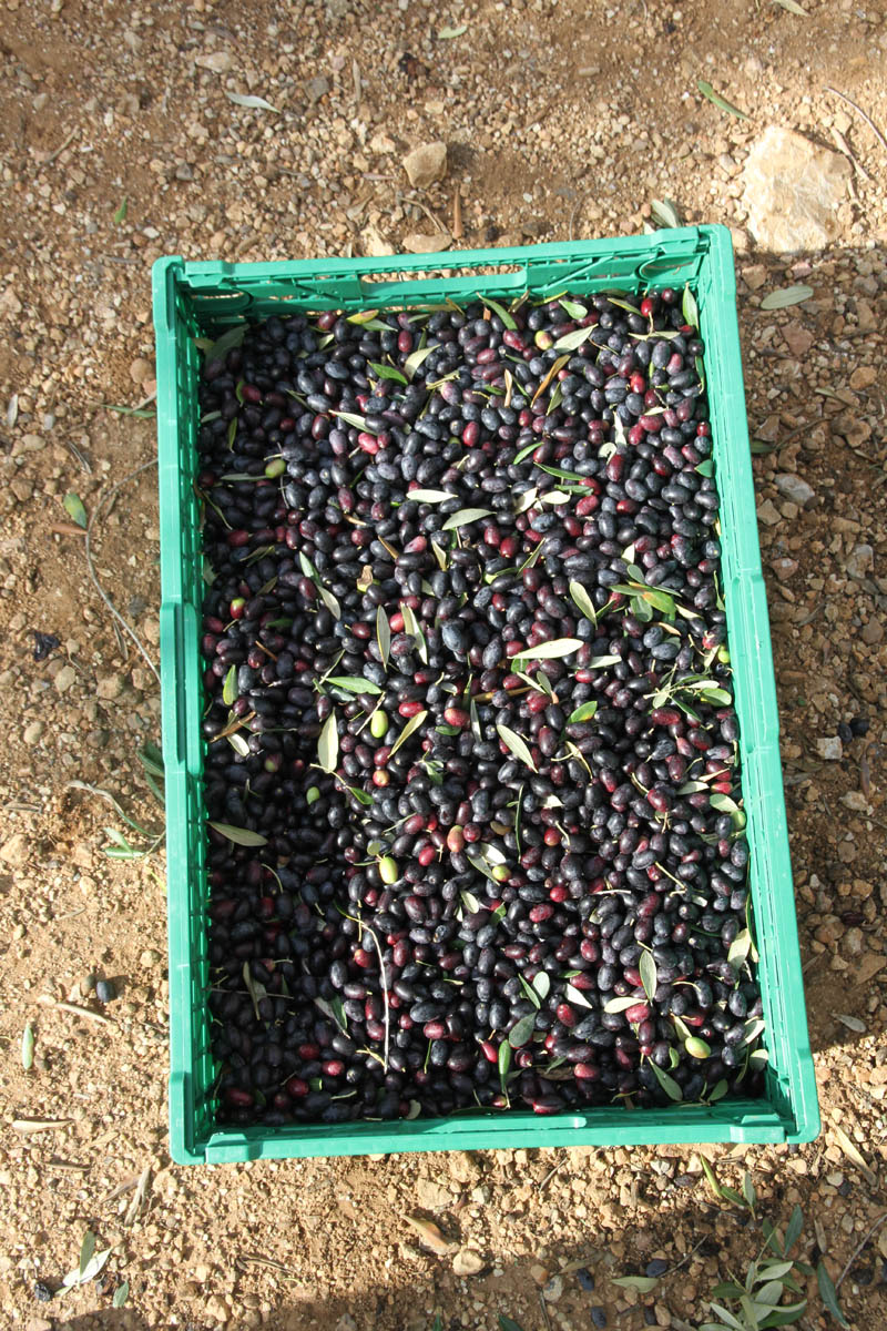 Olivenernte, Mas de Gimeno, Spanien