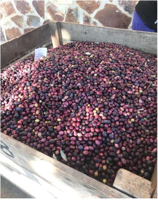 Oliven sind reif für die Ernte