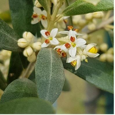 Blüte eines Olivenbaums